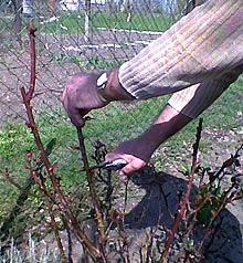 Okrasnej záhradke ruže oslobodíme od nakopcovanej zeminy